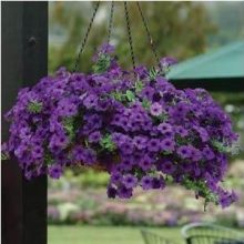100pcs/bag hanging petunia seeds original flower seeds beautiful bonsai flower Natural growth petunia plant for home garden