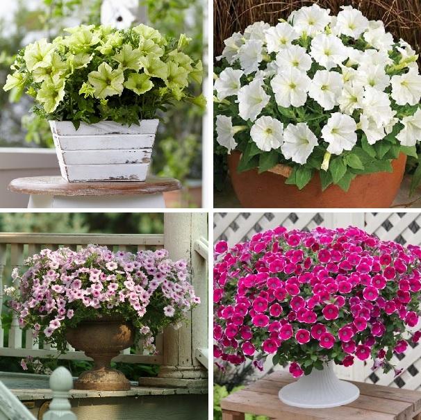 hanging petunia seeds,garden Petunia, Petunia Seeds, Mixed color – 100 seeds/lot