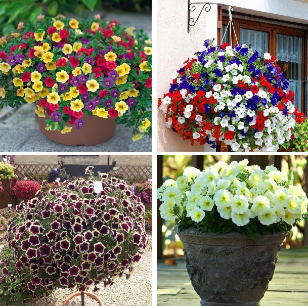 100pcs Hanging Petunia Seeds Beautiful Flower Seeds Perennial Flowers Plant For Home Garden Bonsai Pot Planting