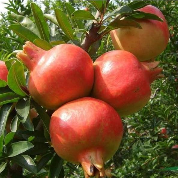 Pomegranate Seeds, Fruit Seeds, 100pcs/pack