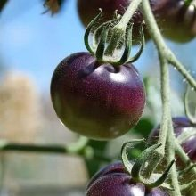 Rare Purple Holy Fruit Tomato Seeds, 100pcs/pack