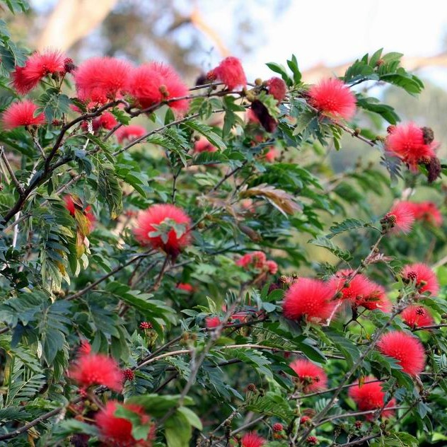 Rare Red Albizia Julibrissin Tree Seeds, Red Silk Tree Seeds, 20pcs/pack