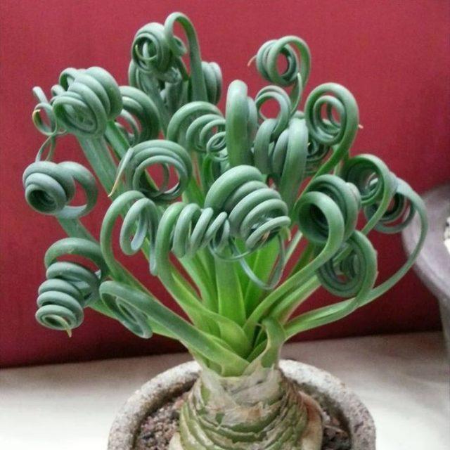 Trachyandra Tortilis Seeds, Albuca namaquensis, 100pcs/pack