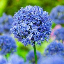 Multi-Color Allium Giganteum Flower Seeds, 100pcs/pack
