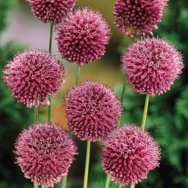 Multi-Color Allium Giganteum Flower Seeds, 100pcs/pack