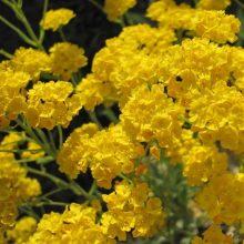 Yellow Alyssum Montanum Seeds, 100pcs/pack