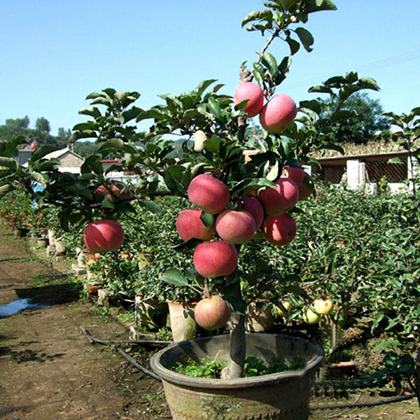 Dwarf Apple Tree Seeds, 30pcs/pack