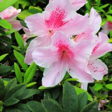 Pink Azalea Seeds, 20pcs/pack