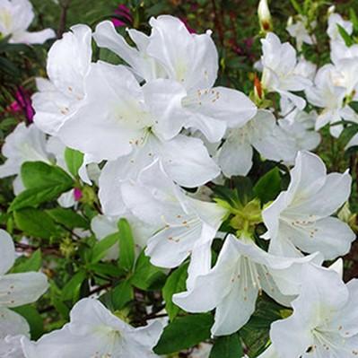 Azalea Seeds, Rhododendron Azalea, 20pcs/pack