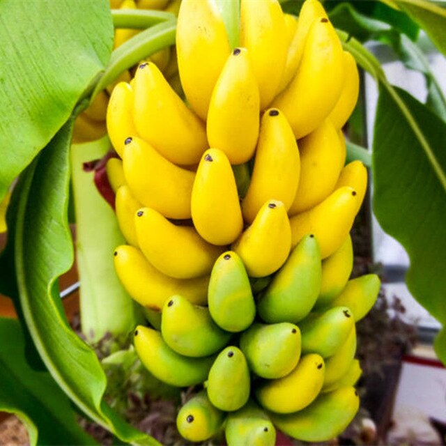Double Potted Banana Seeds, 200pcs/pack