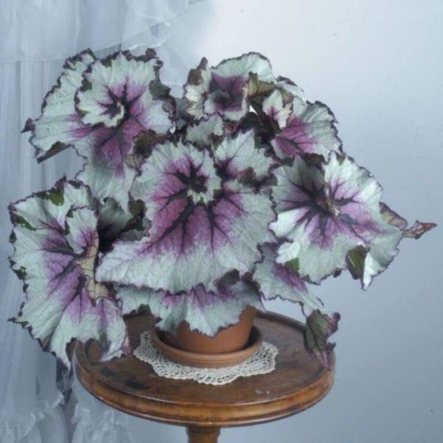 Beautiful Begonia Seeds, 100pcs/pack