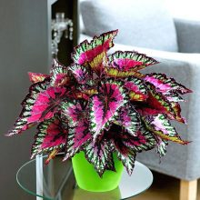 Beautiful Begonia Seeds, 100pcs/pack
