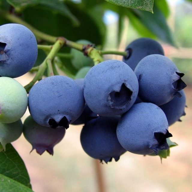 Blueberry Fruit Seeds, 100pcs/pack