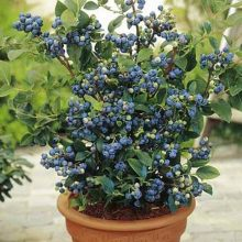 Blueberry Seeds, 100pcs/pack