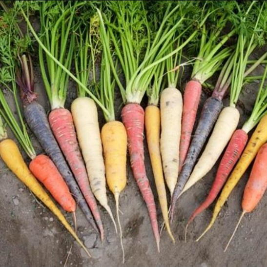 8 Colors Carrot Seeds, 100pcs/pack