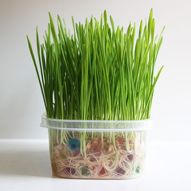 Cat Wheat Seeds, Cat Grass Seeds, 50pcs/pack