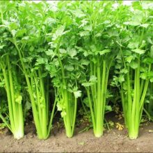 Organic Celery Seeds, 100pcs/pack