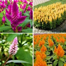 Celosia Flamingo Feather Seeds, Celosia Spicata, Flamingo Cockscomb, 100pcs/pack