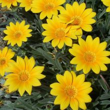 Multi-Varieties Gazania Rigens Seeds,100pcs/pack