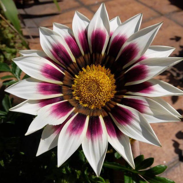 Multi-Color Gazania Flower Seeds, Chrysanthemum Seeds, 100pcs/pack