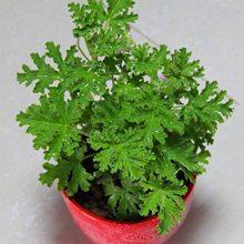Citronella Plant Seeds, Mozzie Buster Mosquito Repellent Plant, 100pcs/pack