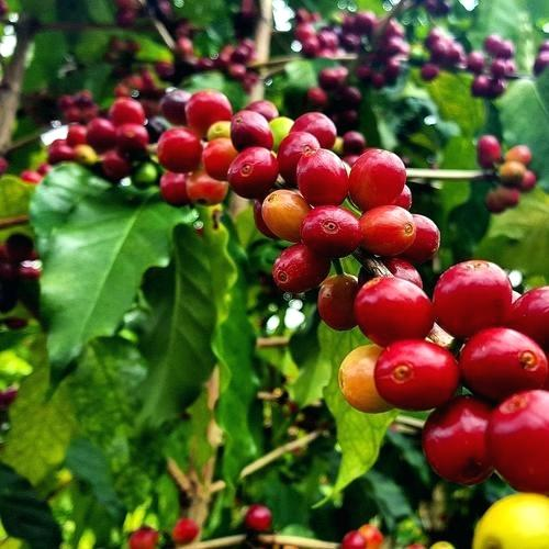 Coffee Beans Seeds, 20pcs/pack