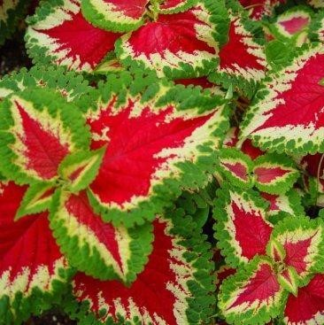 100pcs/bag begonia Coleus seeds bonsai flower courtyard balcony Coleus coleusblumeihybr begonia plants potted for home garden