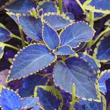 Blue Coleus Seeds, 100pcs / bag