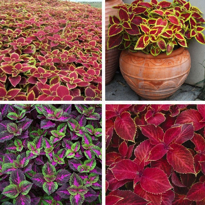 100pcs//bag begonia seeds bonsai flower seeds courtyard balcony Coleus seeds begonia plants potted for home garden 3