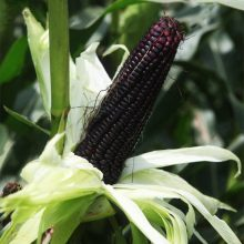 Rare Black Corn Seeds, Deep Purple Corn Seeds, 20pcs/pack