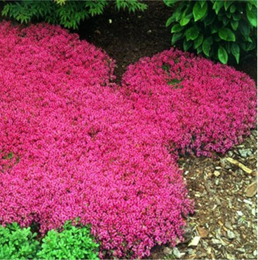 Ground Cover Seeds, Creeping Thyme Seeds, Aubrieta Seeds, Rock Cress, 100pcs/pack