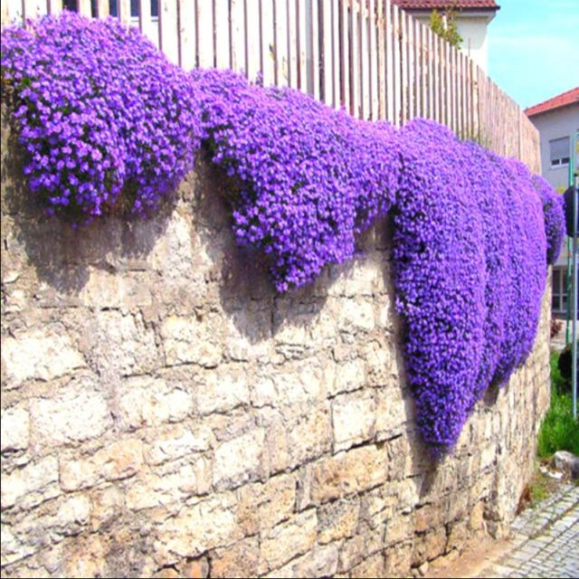 Aubrieta Cascade Purple Flower Seeds, Rock Cress and Ground Cover Plant, 100pcs/pack
