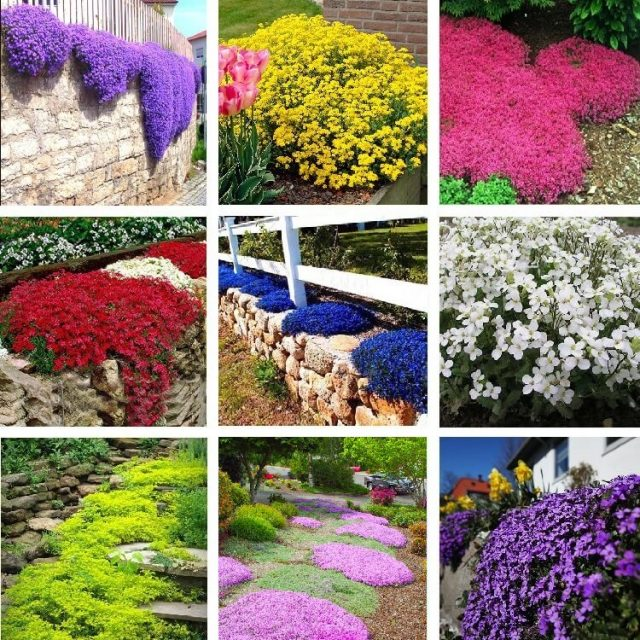 Aubrieta Seeds, Creeping Thyme Seeds, Rock Cress, Ground Cover Seeds 100pcs/pack