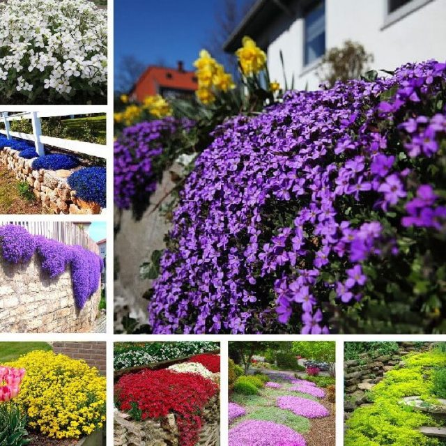 Creeping Thyme Seeds, Aubrieta Seeds, Rock Cress, Ground Cover Seeds, 100pcs/pack