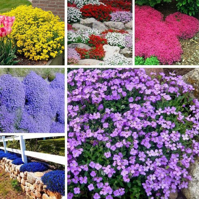 Mutil-Color Creeping Thyme Seeds, Aubrieta Seeds, Rock Cress, Ground Cover Seeds 100pcs/pack