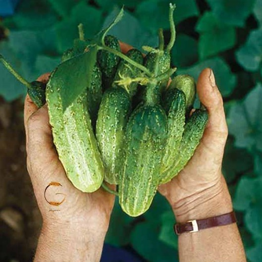 Giant climbing cucumber seeds Real green organic vegetable seeds Easy to grow Bonsai plant for spring farm Best packaging 200pcs