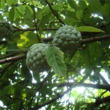 Custard Apple Seeds, Guanabana Graviola Annona Muricata, 10pcs/pack