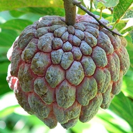Soursop Seeds, Custard Apple Seeds, Graviola Annona Muricata, 10pcs/pack