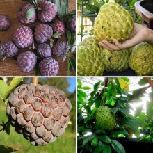 Soursop Seeds, Custard Apple Seeds, Graviola Annona Muricata, 10pcs/pack