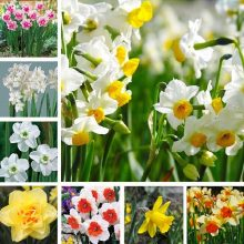 Multi-Varieties Daffodil Seeds, 100pcs/pack