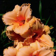 Daylily Flowers Seeds, Hemerocallis Lily Seeds, 100pcs/pack