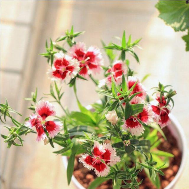 Dianthus Barbatus Seeds, 100pcs/pack