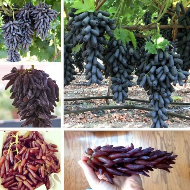 Rare Black/Red Finger Grape Seeds, 30pcs/pack
