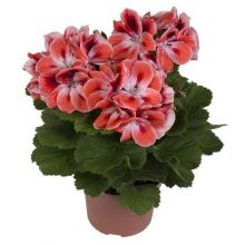 Geranium Seeds, Pelargonium Seeds, Perennial Flower, 20pcs/pack