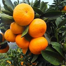 NEW!40 pcs/bag rare giant orange seeds,Organic fruit tree,perennial bonsai Citrus sinensis seeds potted for home&garden planting
