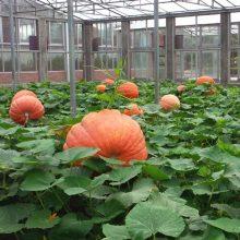 Giant Pumpkin Seeds Garden Seeds, 20pcs/pack