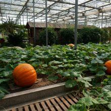 Giant Pumpkin Seed, 20pcs/pack