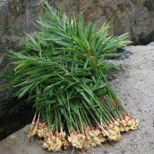 Ginger Seeds, 100pcs/pack