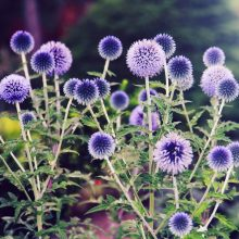 Blue Globe Thistle Seeds, Echinops Ritro, 50pcs/pack