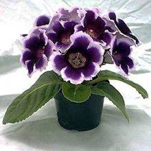 9 Varieties Gloxinia Seeds, Sinningia Speciosa, 100pcs/pack